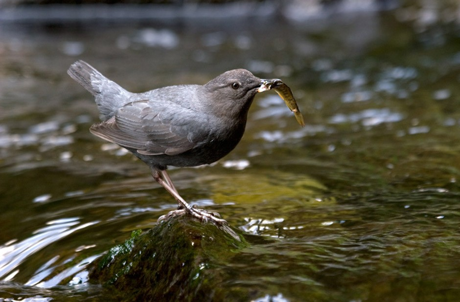 American Dipper with prey