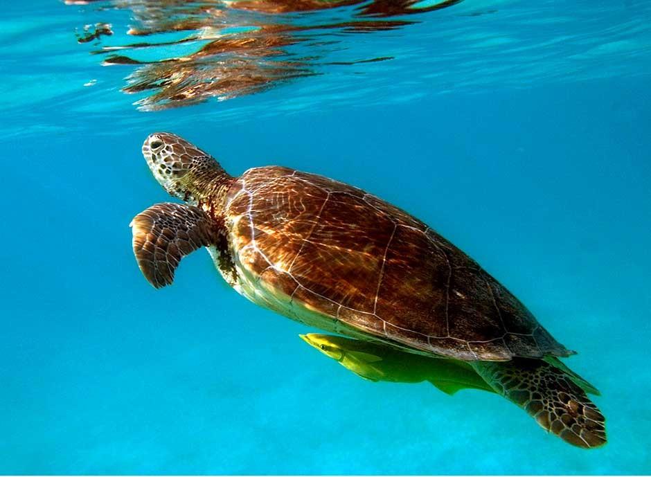 Green sea turle